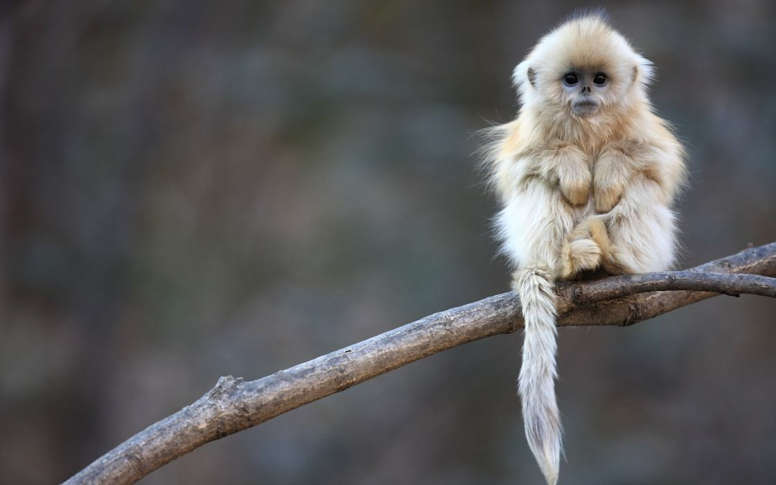 Cute white monkey baby freeze in cold season sitting on tree branch very innocent look wallpaper
