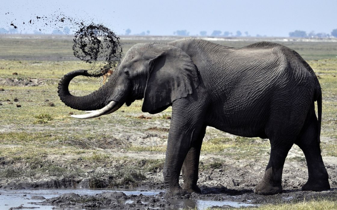 Elephant fun with mud beautiful wallpaper
