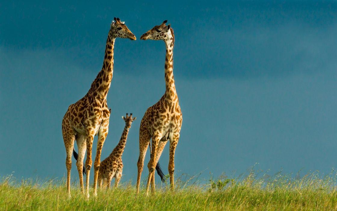 Giraffe family beautiful animal wallpaper