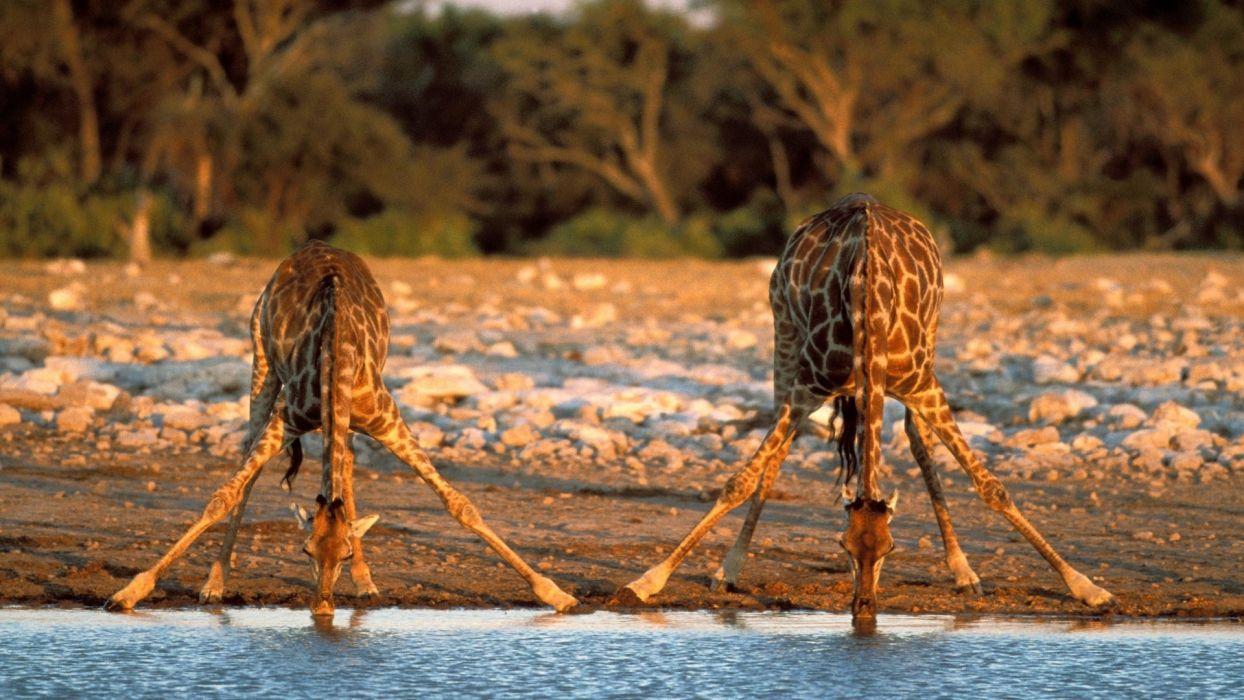 Giraffe drinking water from river funny wallpaper