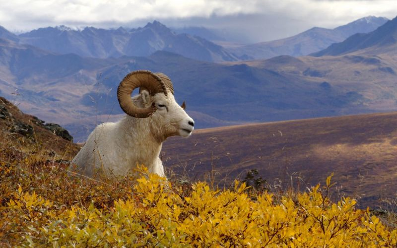 grassing sheep nice animal wallpaper
