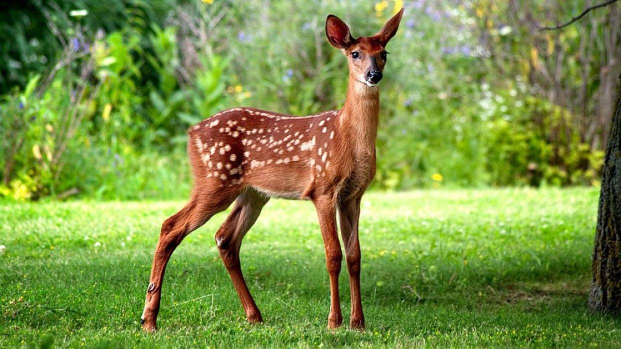 Little deer baby animal wallpaper
