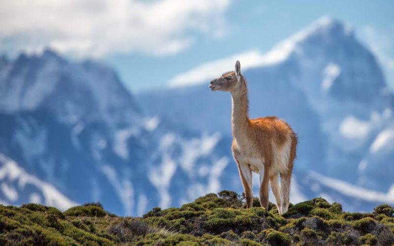 Lama animal the most beautiful wallpaper