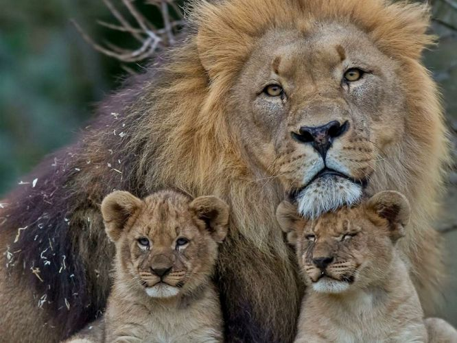 Lion family cute animal wallpaper
