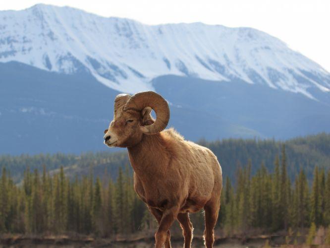 Sheep in mountain animal wallpaper