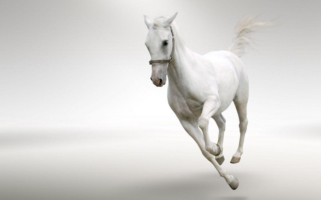 Running white horse wallpaper