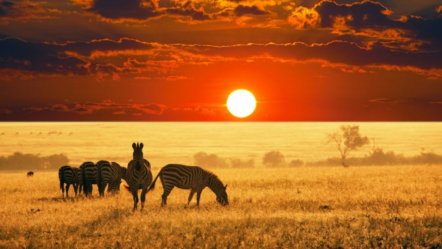 Zebra grassing in forest with sunset wallpaper