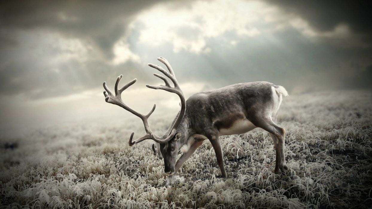Long horn deer animal wallpaper