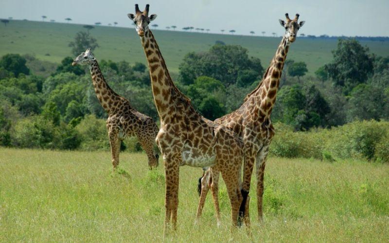 three giraffee jungle beautiful animal wallpaper