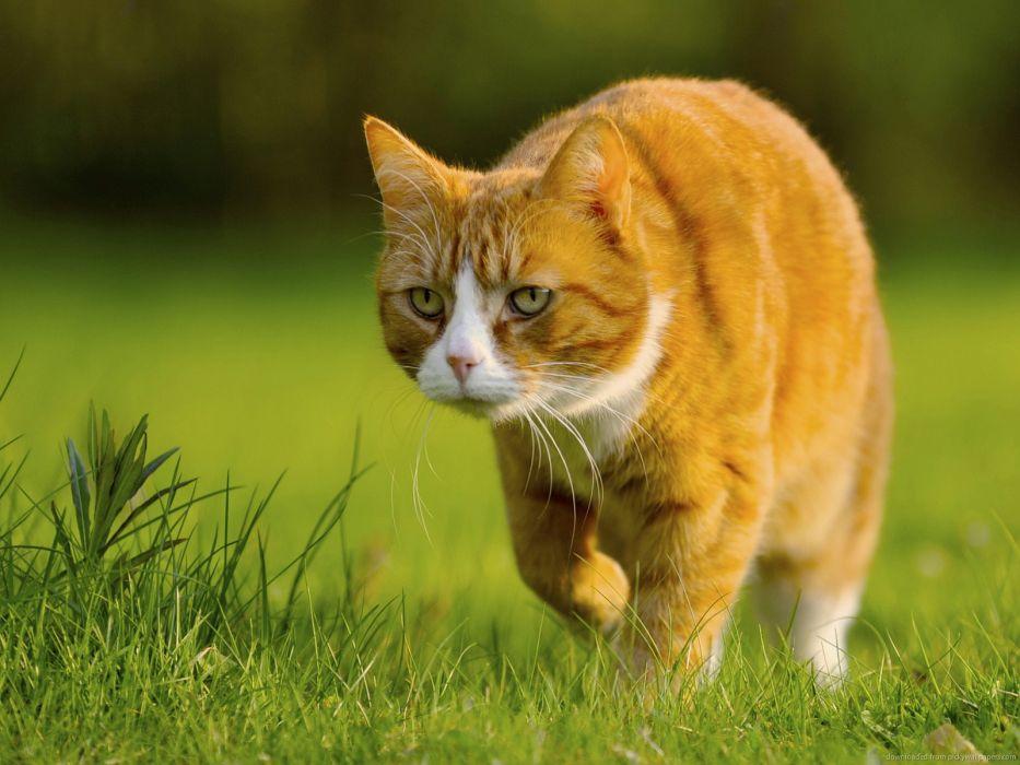 gato caminando felino animal cesped wallpaper