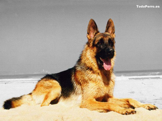 perro pastor aleman animales wallpaper