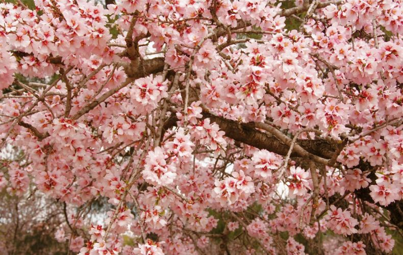 cherry blossom pink twigs spring wallpaper