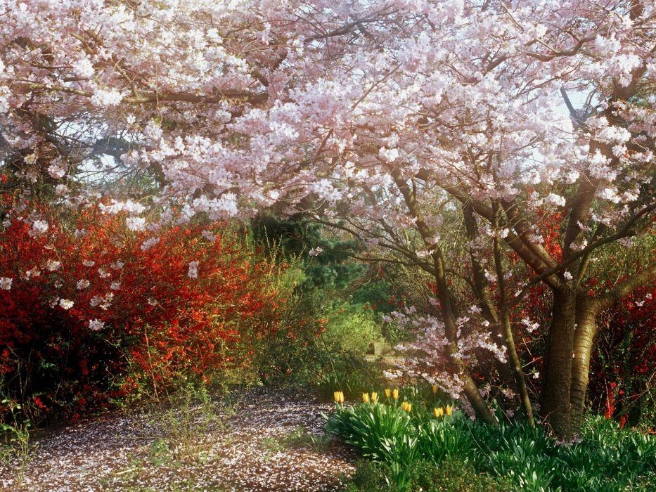 cherry garden spring flowering tulips wallpaper