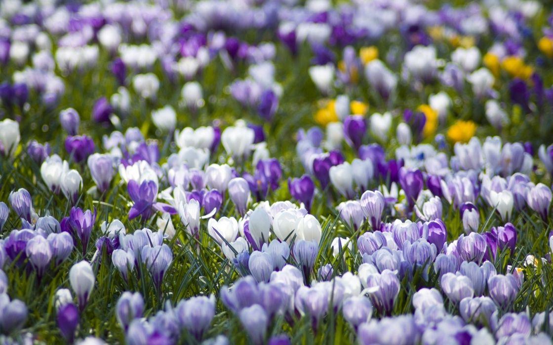crocuses flowers meadow different spring primrose wallpaper