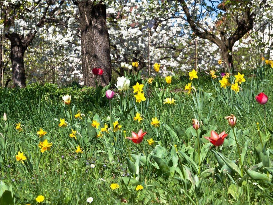 daffodils tulips flowers flowering garden spring wallpaper