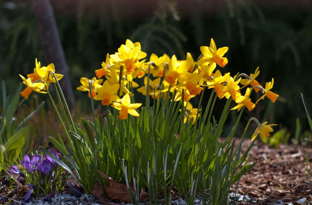 daffodils crocuses flowers spring sunny meadow wallpaper