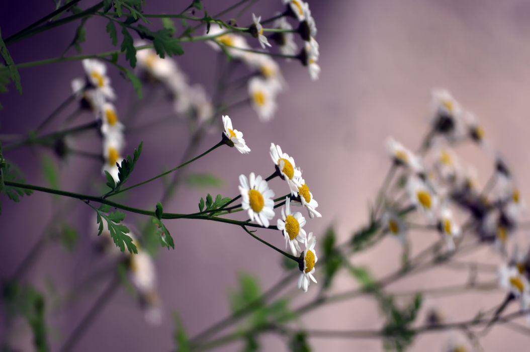 flowers daisies blurring wallpaper