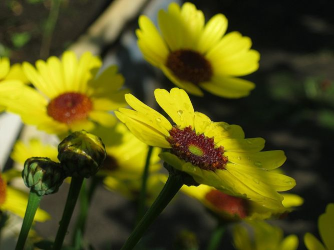flowers drops buds stems yellow wallpaper