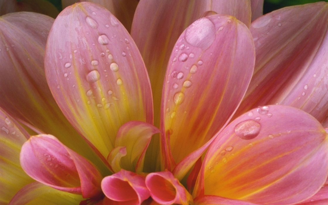 flower delicate pink drops wet wallpaper