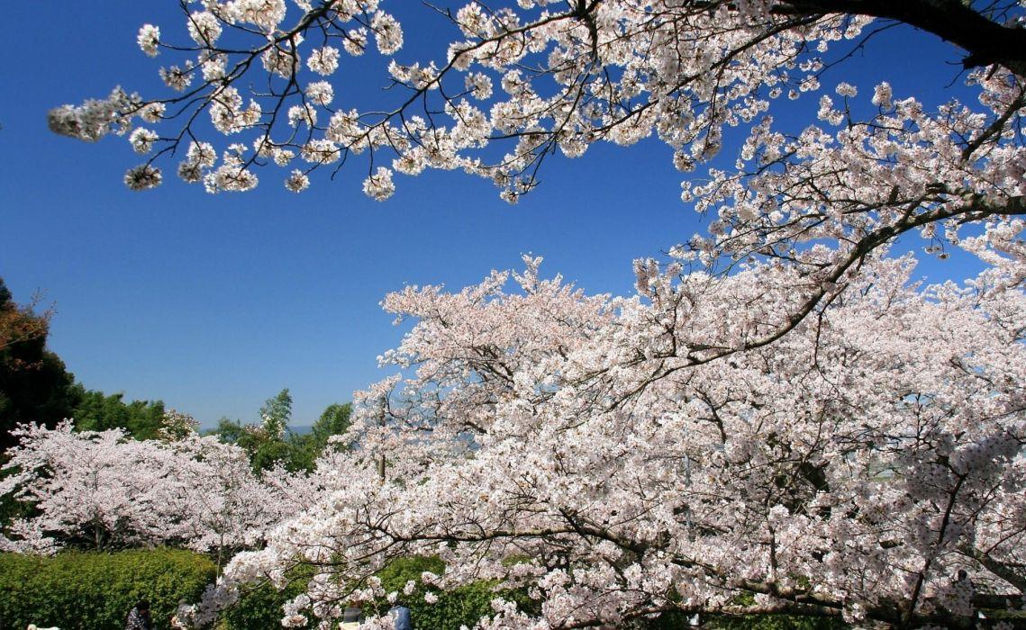 flowering spring branch sky cherry wallpaper