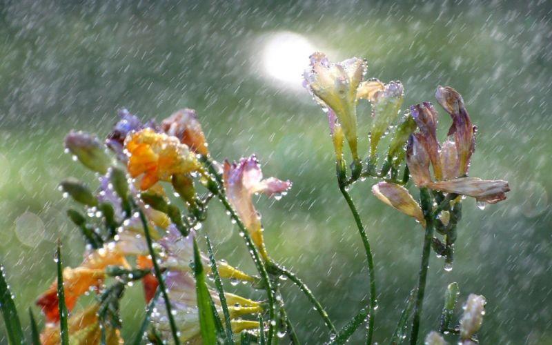 Flowers Freesia Rain Drops wallpaper