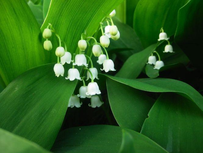 flowers muguet green white wallpaper