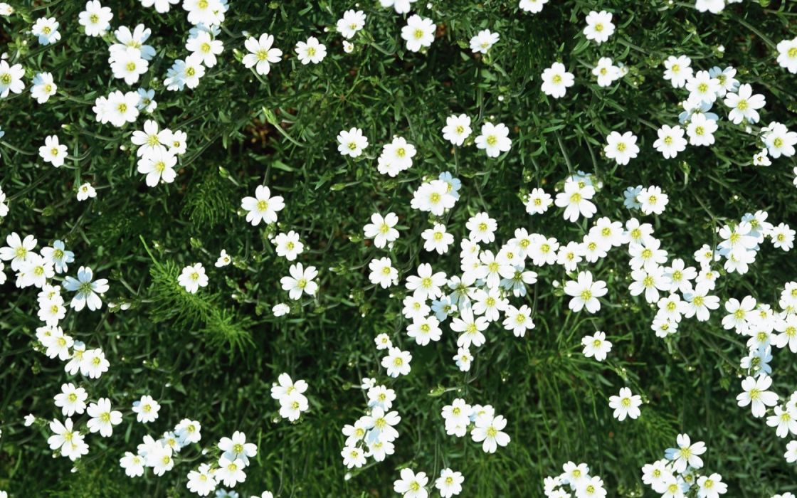 flowers small white green summer wallpaper
