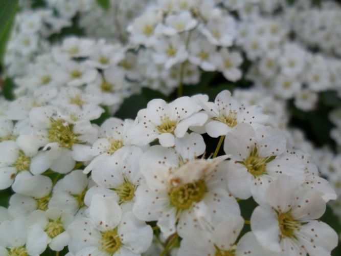 flowers white small many stamens close-up wallpaper