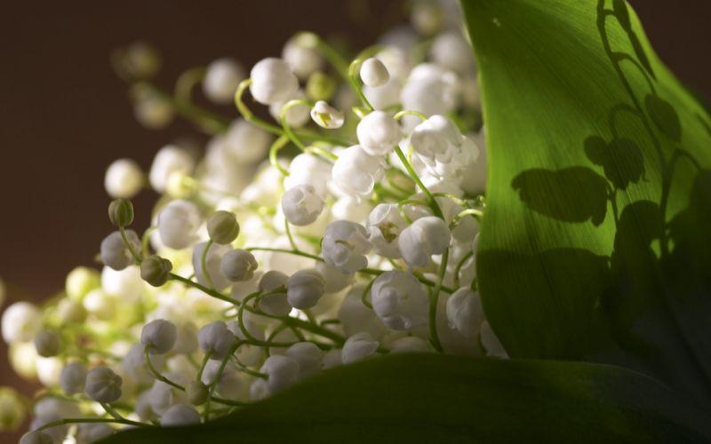 macro flowers muguet white green wallpaper
