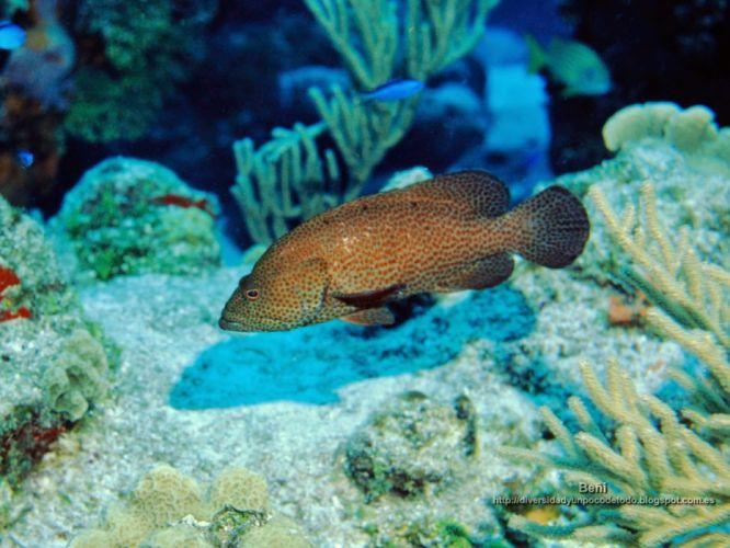 Mero peces animales marinos wallpaper
