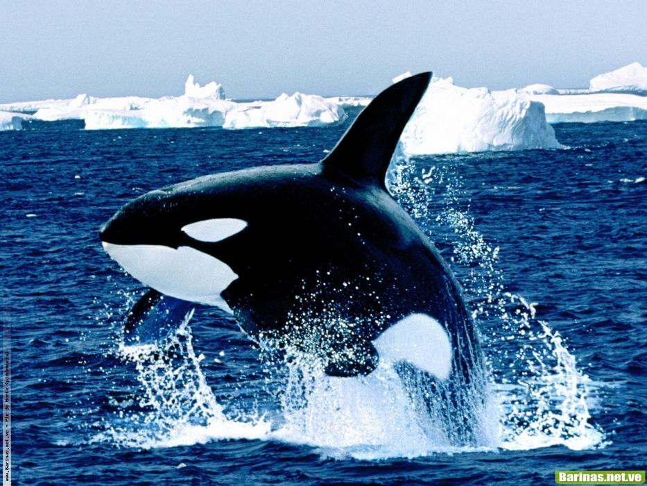 Ballena orca animal cetaceo wallpaper 1600x1200 1084888 ballena orca animal cetaceo wallpaper altavistaventures Images