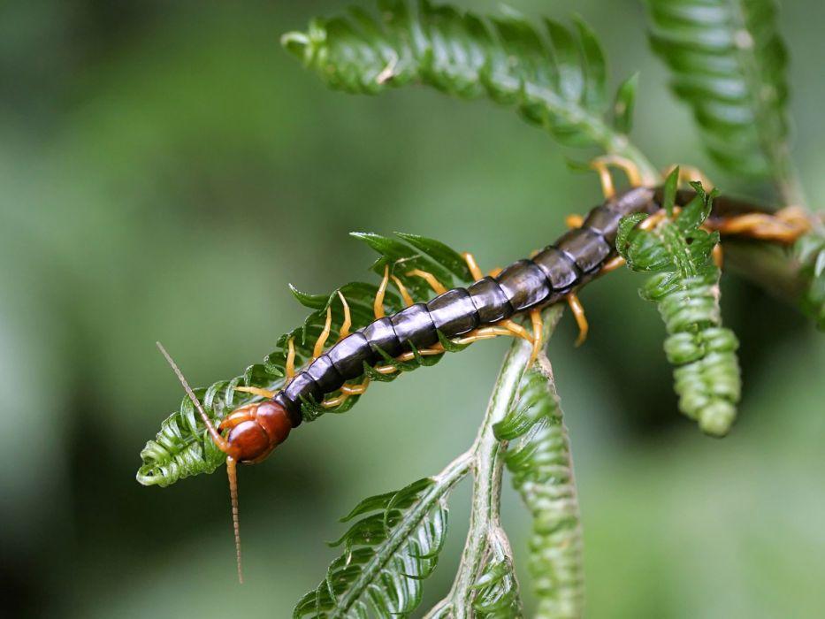 animales insectos cienpies hojas wallpaper