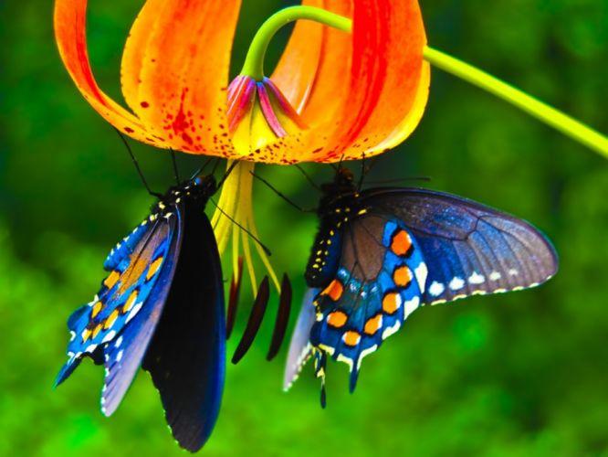 -mariposas azules flores insectos wallpaper