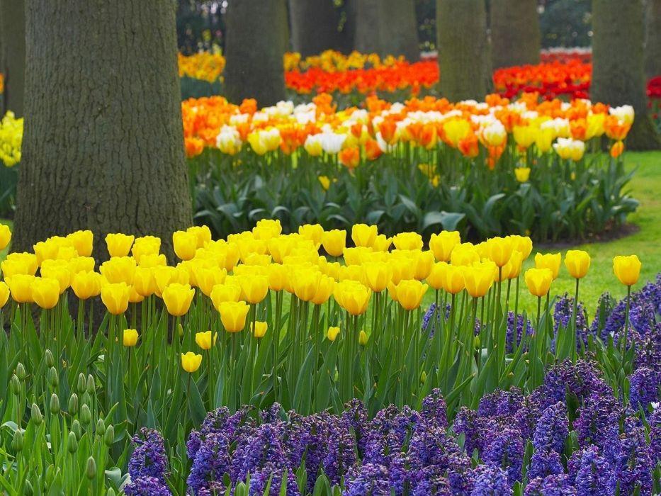 tulips hyacinths trees garden beauty wallpaper