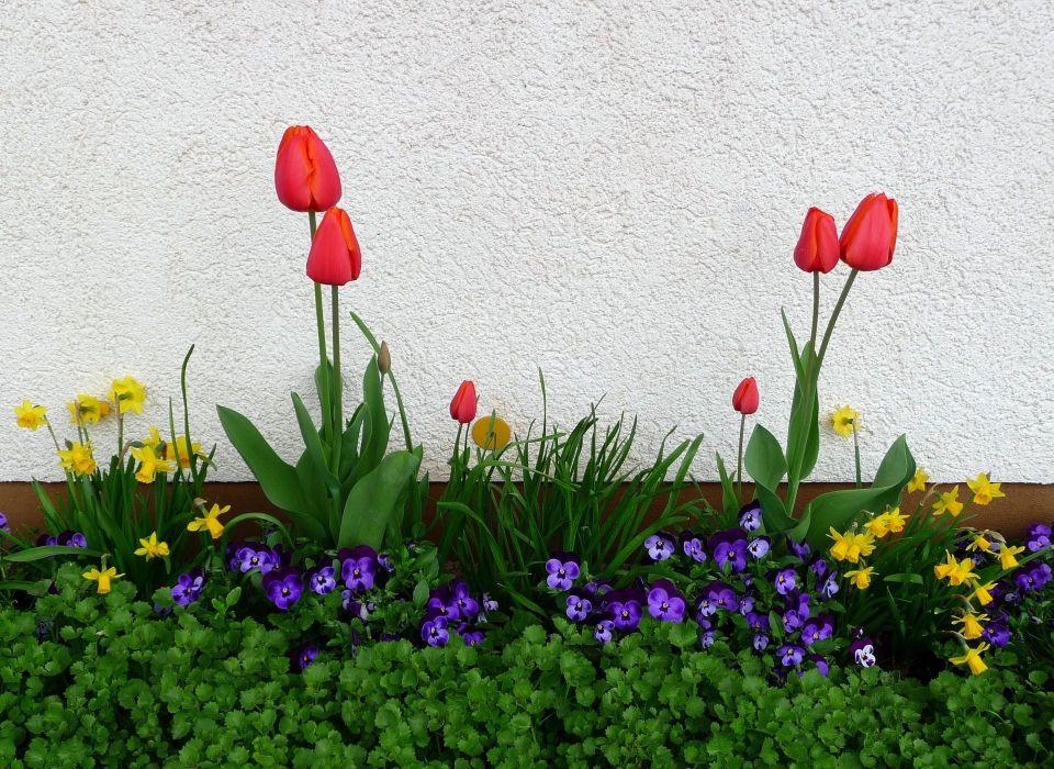 tulips pansies daffodils flower flowerbed green spring wall wallpaper