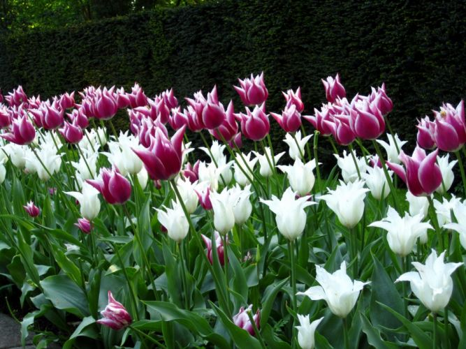 tulips flowers flowerbed park spring wallpaper