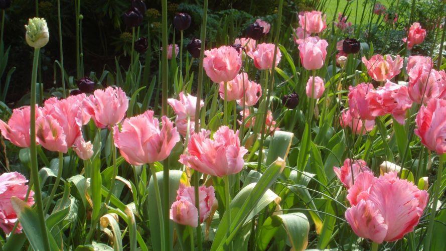 tulips double black flowerbed green park wallpaper