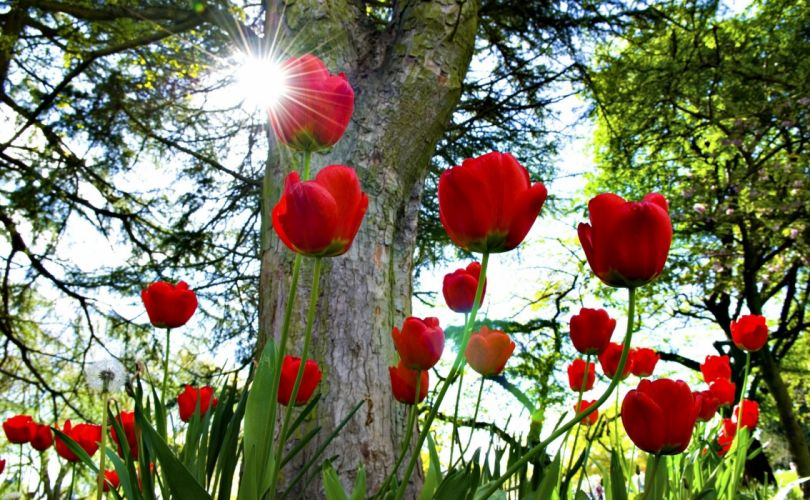 tulips flowerbed sun park trees wallpaper