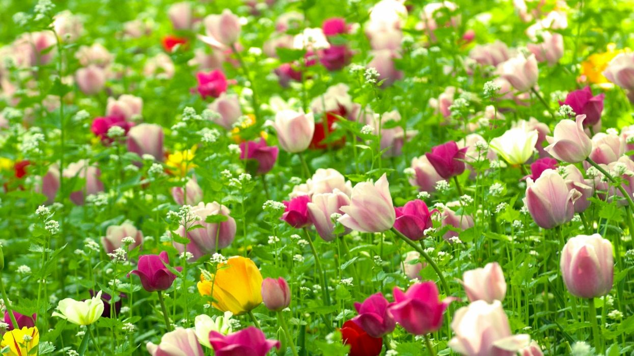 tulips flowers field different nature wallpaper