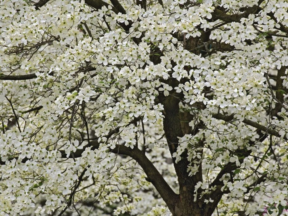 tree flowering spring flowers kentucki garden wallpaper