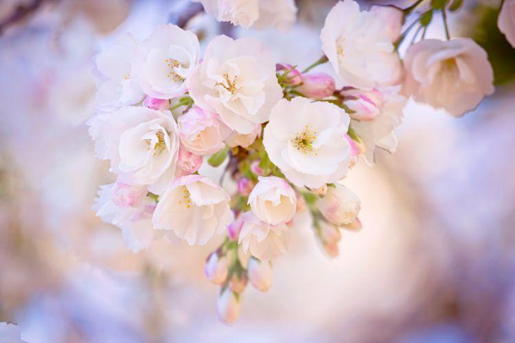 spring bloom cherry branch wallpaper