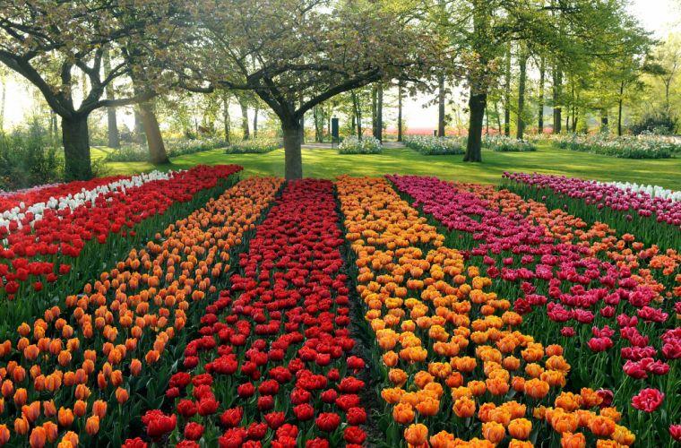 tulips different beds trees park garden wallpaper