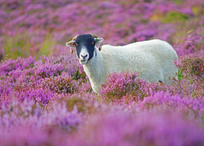 sheep grass flowers lilac wallpaper