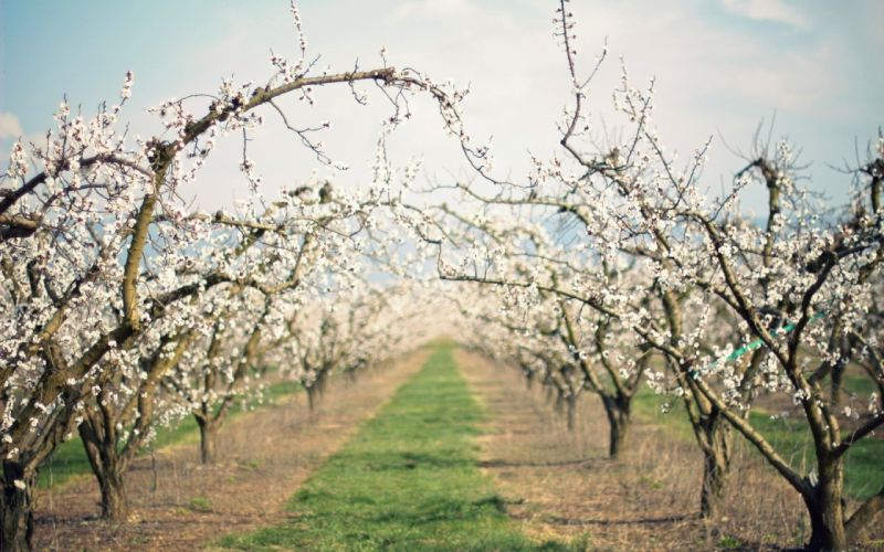 path garden flowering spring apple-trees wallpaper
