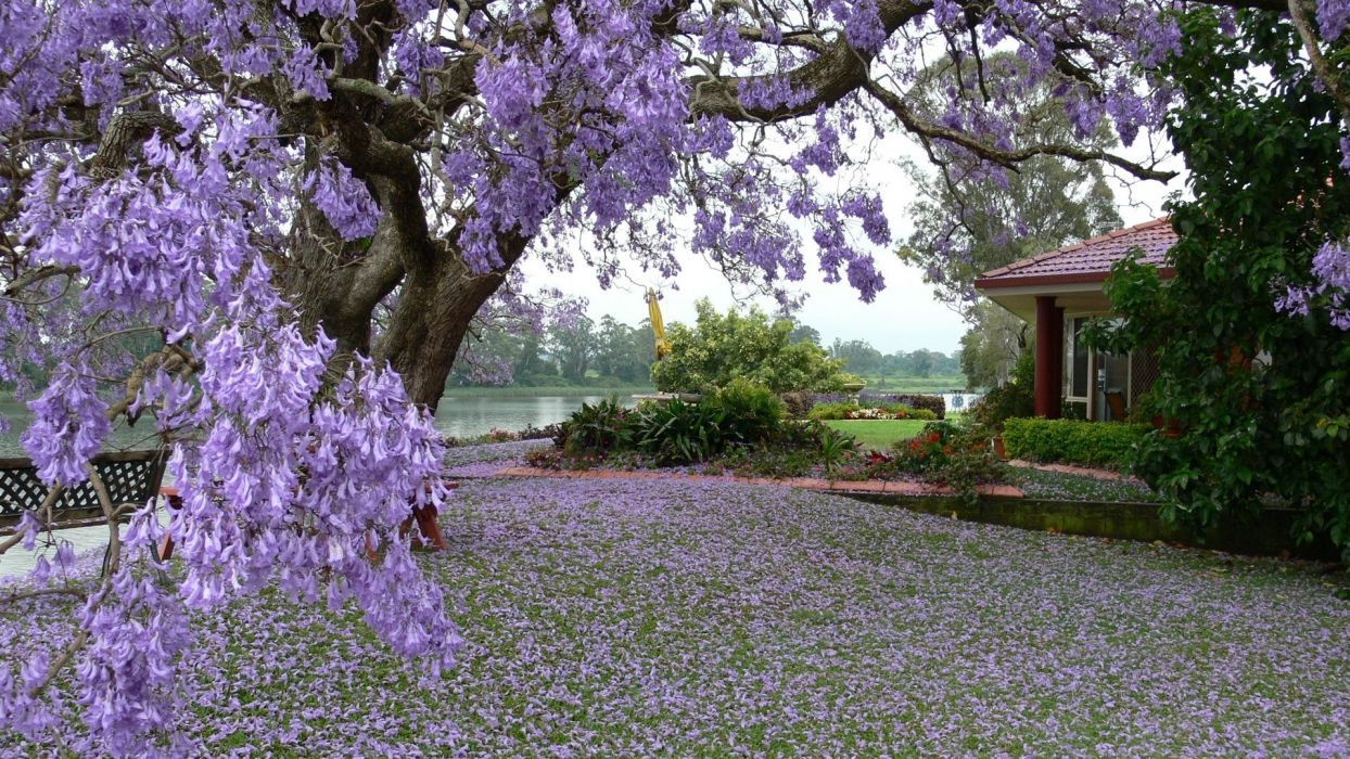 spring tree blossoms petals yard garden house wallpaper