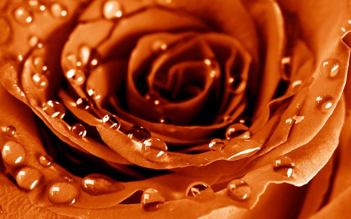 rose flower petals drops wallpaper