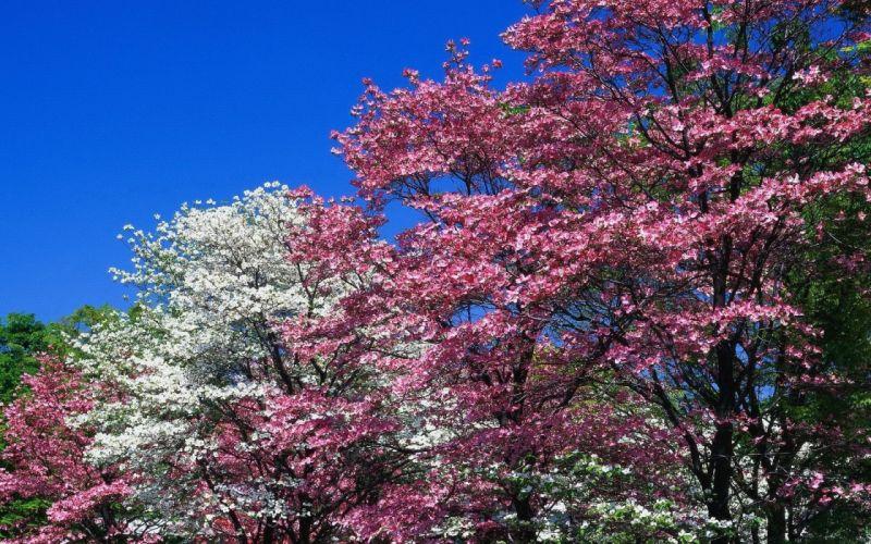 spring trees flowering pink white flowers wallpaper