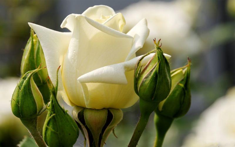 rose flower buds drops close-up wallpaper