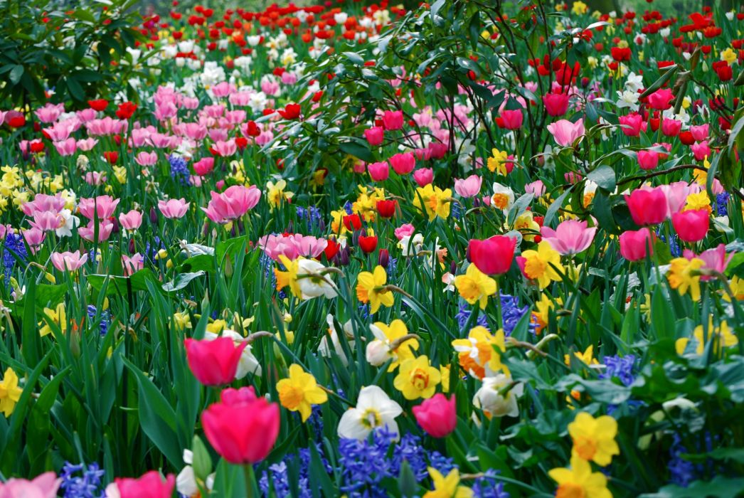 tulips daffodils flowers meadow beauty spring wallpaper