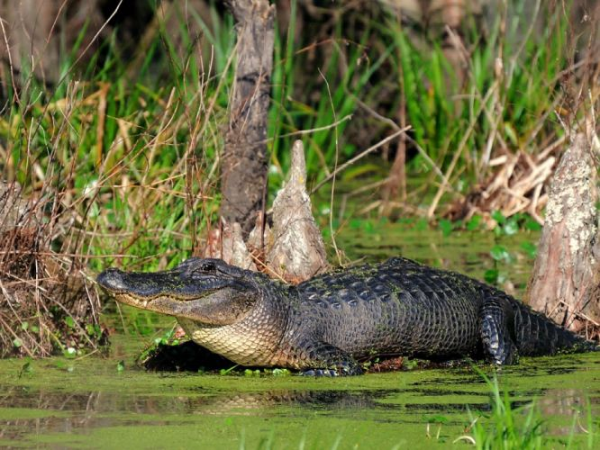 animales alligators reptiles wallpaper